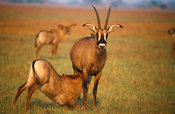 Roan antelope suckling (Hippotragus equinus),  Kafue National Park, Zambia