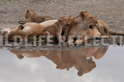 lion_family_reflection_2
