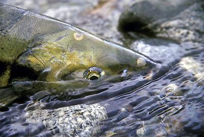Close-up of a battle-worn chum salmon after its journey from the Pacific to the Atnarko River, Great Bear Rainforest, British...
