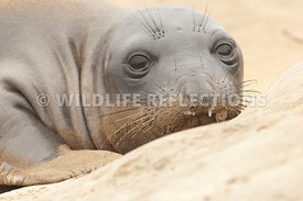 Elephant Seal Sand Pillow