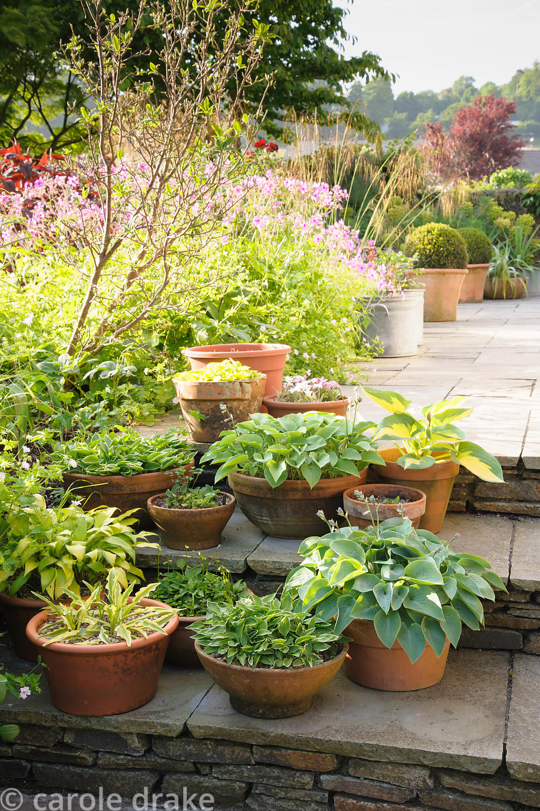 A group of pots on steps in the front garden planted with miniature and small hostas.