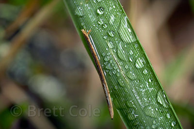 Macro view of raindrops on a blade of grass, with a single Sitka spruce (Picea sitchensis) needle, Cummins Creek Wilderness, ...