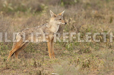 black_backed_jackal_stretch_stance_1