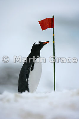 Gentoo Penguin (Pygoscelis papua) appearing to stand guard by a red flag, Petermann Island, Antarctic Peninsula