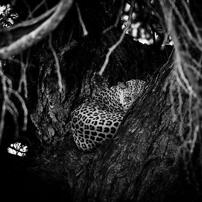 5355-Hidden_leopard_South_Africa_2004_Laurent_Baheux