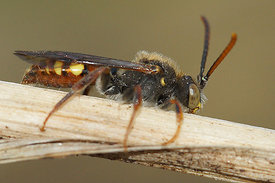 Nomada ferruginata, male
