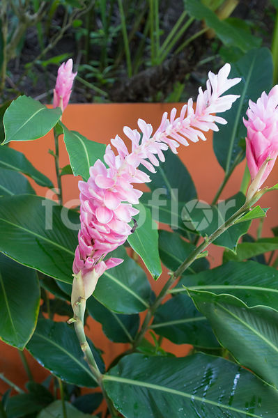 Alpinia purpurata, gingembre d'ornement, rose