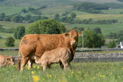 Herd of Limousin beef cattle with calves grazing on upland pasture in the Forest of Bowland, Lancashire, UK.