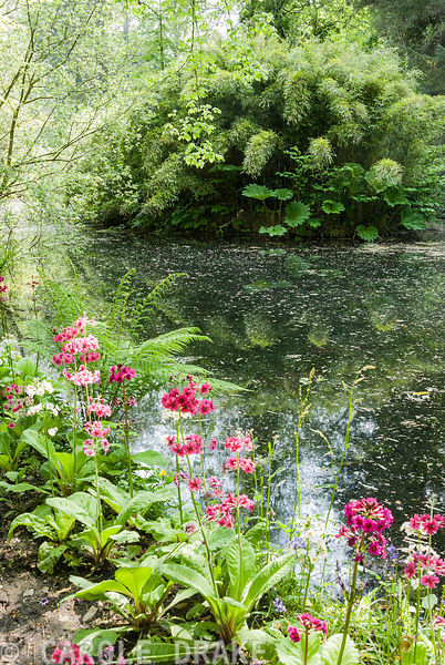 The lake is edged with bog primulas in pinks and whites. Enys Gardens, St Gluvias, Penryn, Cornwall, UK