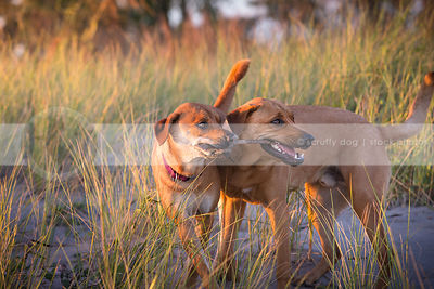 two dogs playing together tugging on stick in sand and grasses