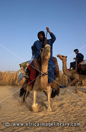 Tuareg mounting his camel in the Saharah desert, Timbuktu, Mali