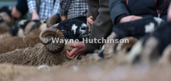 Showing Dalesbred rams at the Bentham tup sales. UK.