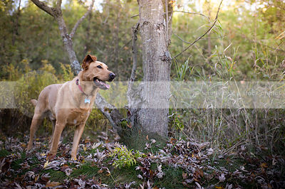 tan mixed breed dog with ear standing near tree