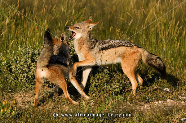 Black-backed jackals play-fighting (Canis mesomelas), Etosha National Park, Namibia