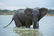 African elephant crossing the Rufiji River (Loxodonta africana africana), Selous Game Reserve, Tanzania