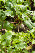 Beetroot. Yews Farm, Martock, Somerset, UK