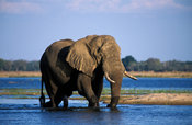 African elephant (Loxodonta africana) in the Zambezi river, Lower Zambezi National Park, Zambia