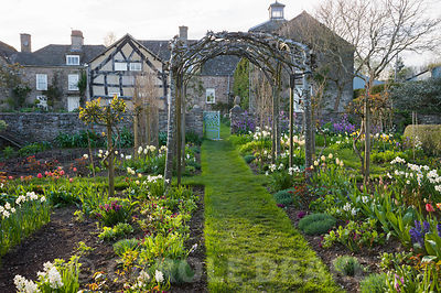 Grass path runs through the cutting garden below trained whitebeams, Sorbus aria 'Lutescens', and past beds with border auric...