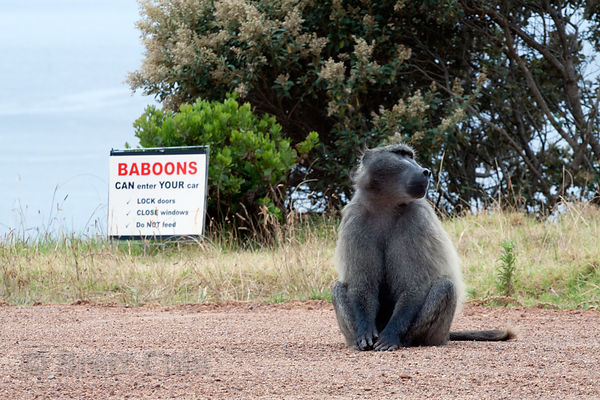 Chacma baboons from the Smitwinkel troop near a sign warning tourists against leaving their cars unguarded, Cape Peninsula, S...