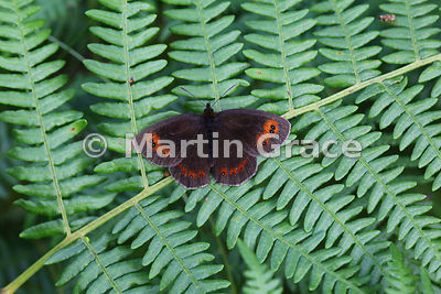 Scotch Argus butterfly (Erebia aethiops) resting on Bracken fern (Pteridium aquilinum), Scottish Highlands