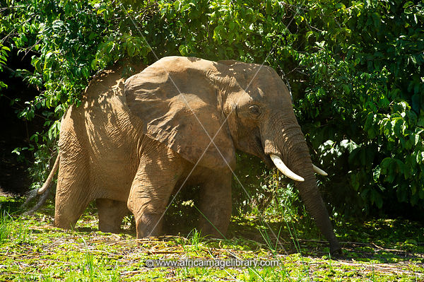 African elephant on the bank of the Nile River, Loxodonta africana africana, Murchison Falls National Park, Uganda