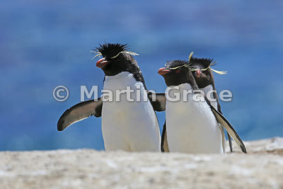 Clean Southern Rockhopper Penguins (Eudyptes chrysocome chrysocome) hopping up the penguin highway from the sea, Cape Coventr...