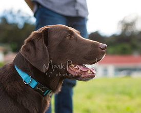 Chocolate Labrador in Profile with Blue Collar Next to Mans Leg