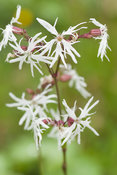 White ragged robin, Lychnis flos-cuculi var albiflora at Hidden Valley Nursery, Old Souith Heale, High Bickington, north Devo...