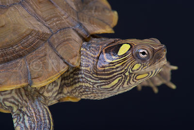 Map turtle (Graptemys ouachitensis)