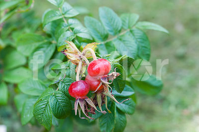 Rosa rugosa 'Hansa', Rosier, fruits, rouge