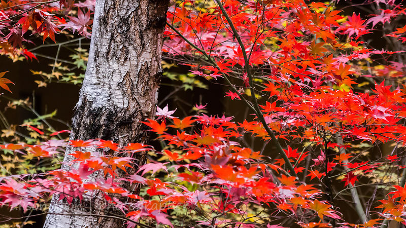 HR-JapaneseMaple-Fall-9860