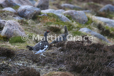 Rock Ptarmigan male (Lagopus muta) with out-of-focus female beyond, June 9, Cairngorm, Scottish Highlands