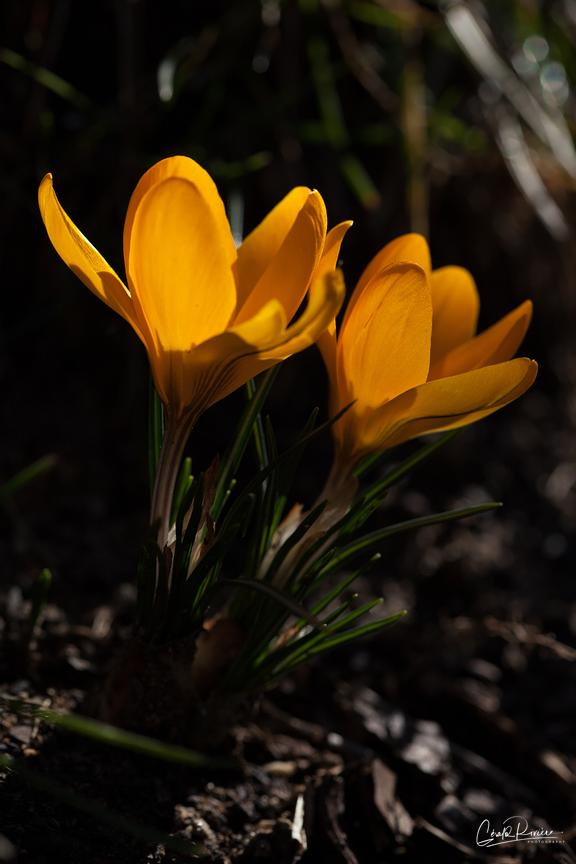 Crocus, le Primptemps
