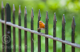 European Robin (Erithacus rubecula) on a fence in Hyde Park