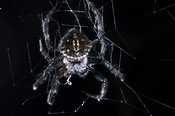 Spider, Andasibe-Mantadia National Park, Madagascar