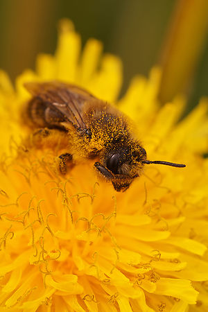 Andrena species - Mining bee species