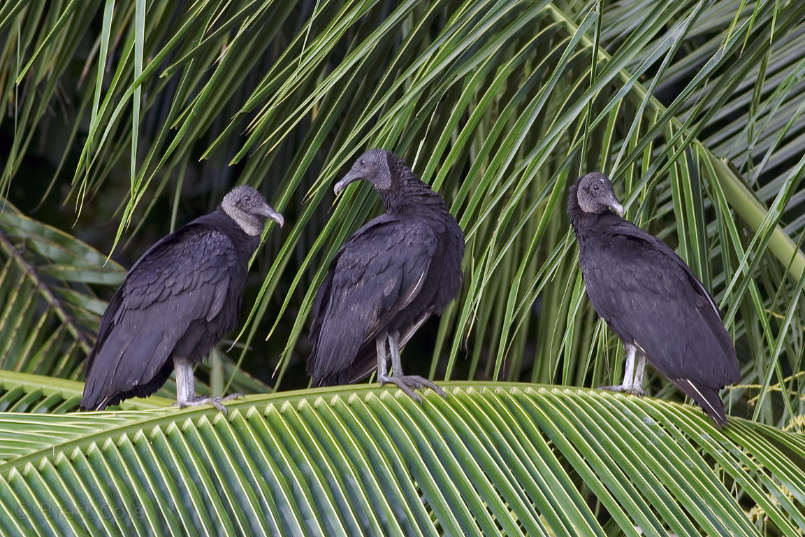 Black vultures (Coragyps atratus) in a large palm tree on the beach south of Puerto Jimenez, Osa Peninsula, Costa Rica