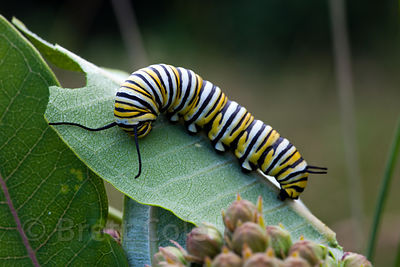 Monarch butterfly (Danaus plexippus) caterpillar on common milkweed (Asclepias syriaca), Green Farm Park, Maryland. The two s...