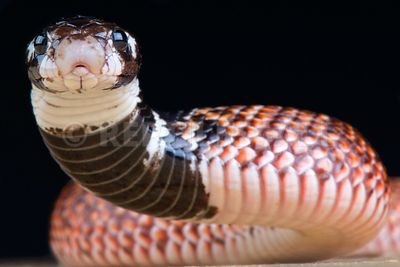 Shield-nose cobra (Aspidelaps scutatus intermedius)