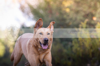 tan hound cross breed dog running with bokeh background