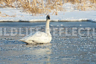 trumpeter_swan_sitting_ice_cubes20120101_0004