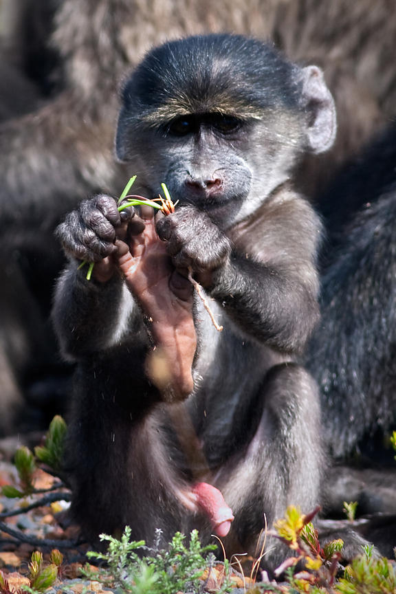 A baby chacma baboons explores its environment, Smitswinkel Flats, Cape Peninsula, South Africa