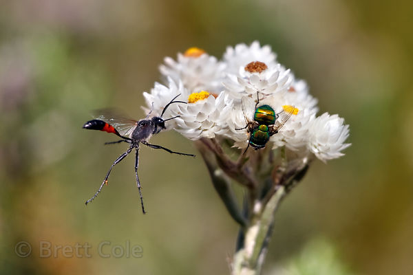 Wildflower (sp.) and insects, Wildcliff Nature Reserve, South Africa