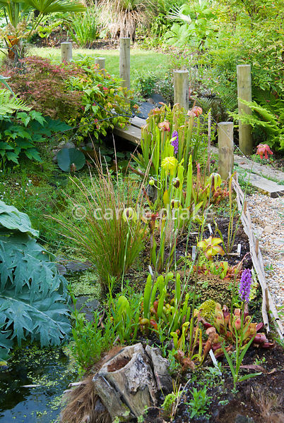 Carnivorous plants including sarracenias, darlingtonias and droseras planted beside the pond. Crawford, Spetisbury, Blandford...