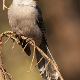 Gray Jay wildlife photos