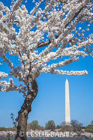Cherry Blossoms at the Washington Monument