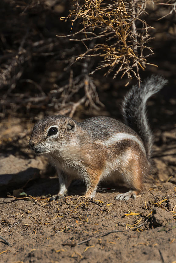 White-tailed Antelope Squirrel at Grimes Point Archaeological Area