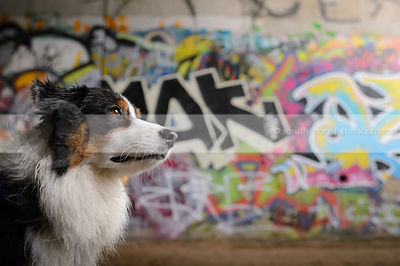 portrait of longhaired dog with urban graffiti concrete wall