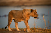 Lion (Panthera leo) on the bank of the Luangwa river, South Luangwa National Park, Zambia