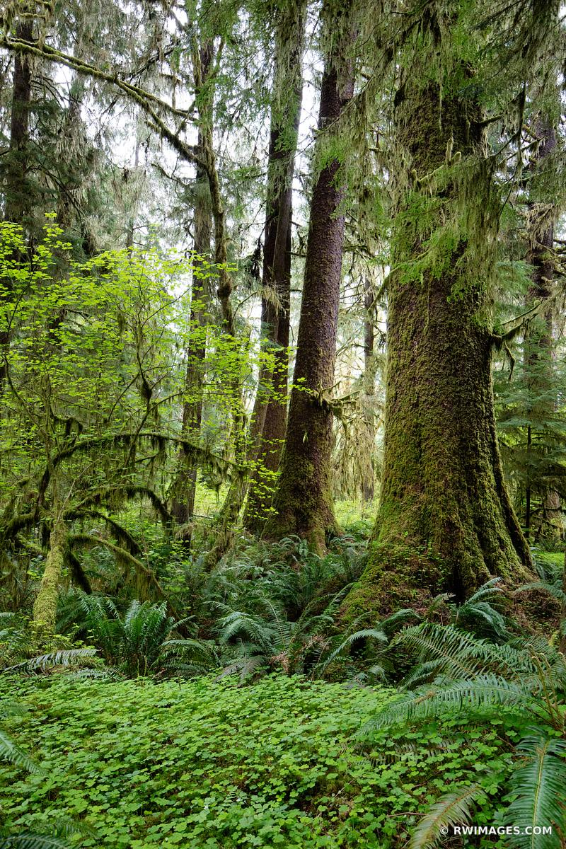 HOH RAINFOREST OLYMPIC NATIONAL PARK WASHINGTON PACIFIC NORTHWEST FOREST COLOR VERTICAL
